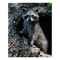 Young Raccoon Poster