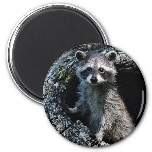 Young Raccoon Refrigerator Magnet