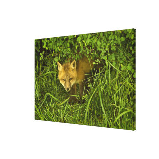 Young Red Fox coming out from hiding in bushes Canvas Print