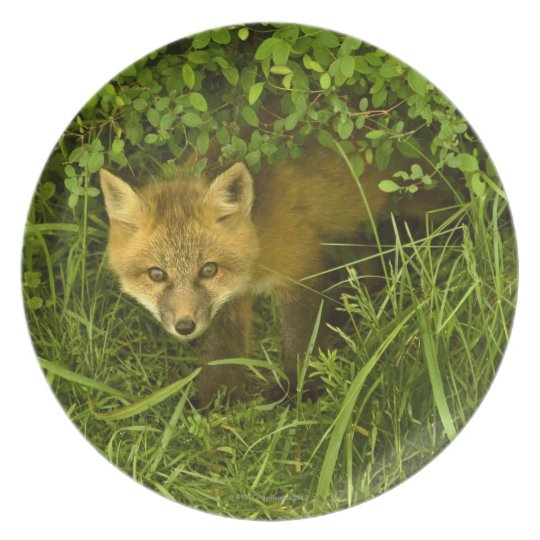 Young Red Fox coming out from hiding in bushes Dinner Plate