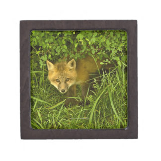 Young Red Fox coming out from hiding in bushes Gift Box
