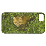 Young Red Fox coming out from hiding in bushes iPhone SE/5/5s Case