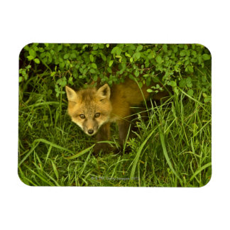Young Red Fox coming out from hiding in bushes Rectangular Photo Magnet