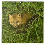 Young Red Fox coming out from hiding in bushes Large Square Tile