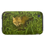 Young Red Fox coming out from hiding in bushes Tough iPhone 3 Cases