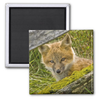 Young Red Fox looking through fence on San Juan 2 Inch Square Magnet