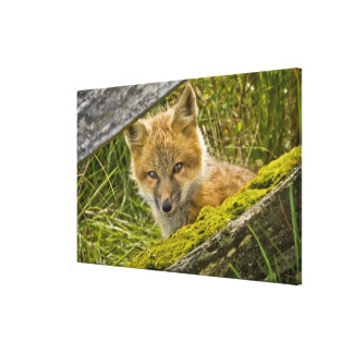 Young Red Fox looking through fence on San Juan Gallery Wrap Canvas