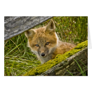 Young Red Fox looking through fence on San Juan Card