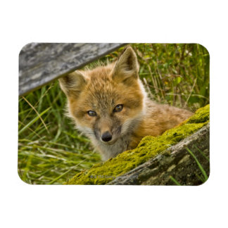 Young Red Fox looking through fence on San Juan Rectangular Photo Magnet