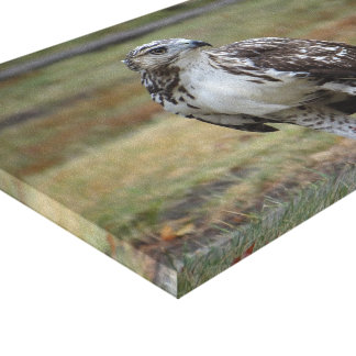 Young Red Tail Hawk Canvas Print