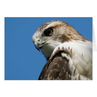 Young Redtail Hawk On Duty Card