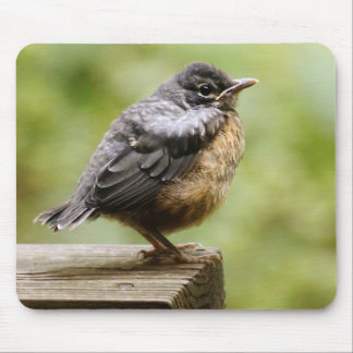 Young Robin Learning To Fly... Taking A Break On Mouse Pad
