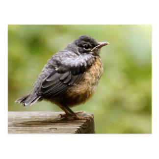Young Robin Learning To Fly... Taking A Break On Postcard