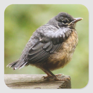 Young Robin Learning To Fly... Taking A Break On Square Sticker