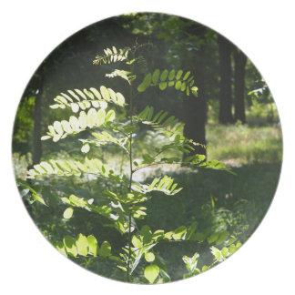 Young sapling acacia dinner plate