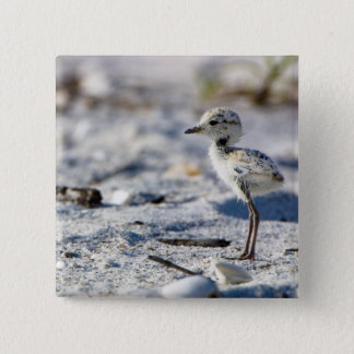 Young Snowy Plovers (Charadrius alexandrinus) Button