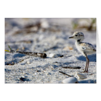 Young Snowy Plovers (Charadrius alexandrinus) Card