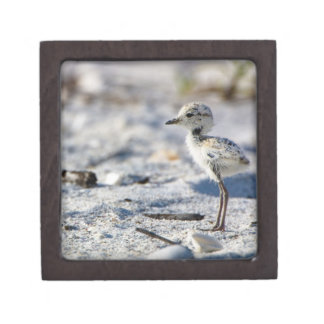 Young Snowy Plovers (Charadrius alexandrinus) Gift Box