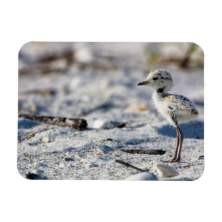 Young Snowy Plovers (Charadrius alexandrinus) Magnet