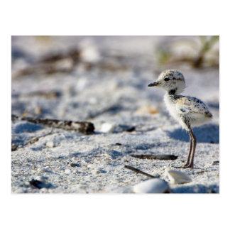 Young Snowy Plovers (Charadrius alexandrinus) Postcard