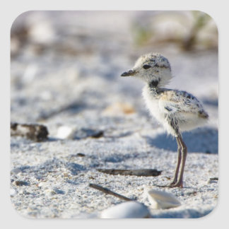 Young Snowy Plovers (Charadrius alexandrinus) Square Sticker
