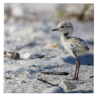 Young Snowy Plovers (Charadrius alexandrinus) Tile