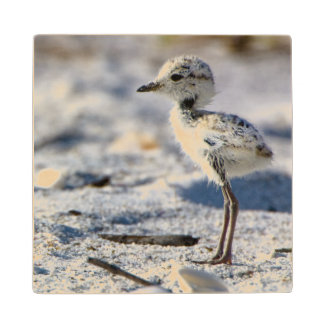 Young Snowy Plovers (Charadrius alexandrinus) Wooden Coaster
