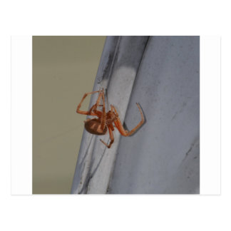 Young Spider spins a web Postcard