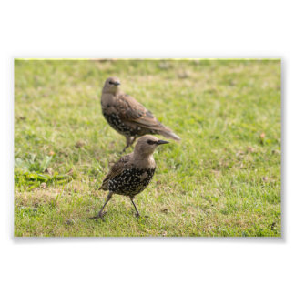 Young Starlings Photo Print