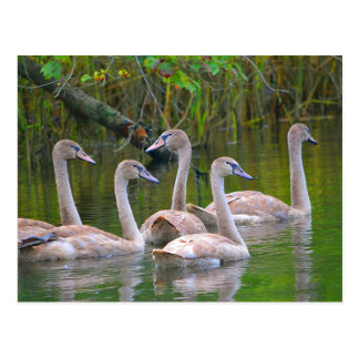 Young Swans In The River Postcard