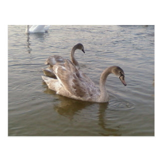 Young Swans Lake Postcard