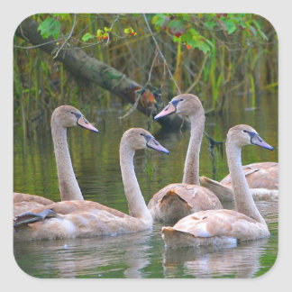 Young Swans Sticker