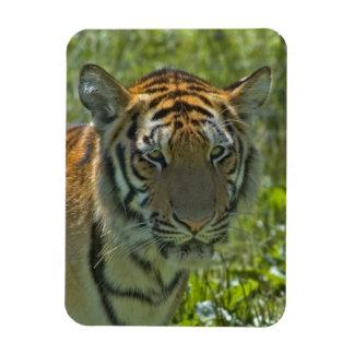 Young Tiger Cub Magnet