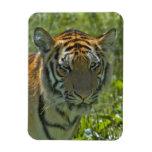 Young Tiger Cub Magnet Rectangular Magnet