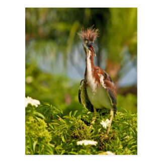 Young Tricolored Heron Postcard