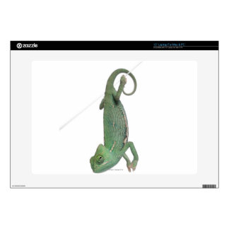 Young veiled chameleon, Chamaeleo calyptratus Laptop Decal