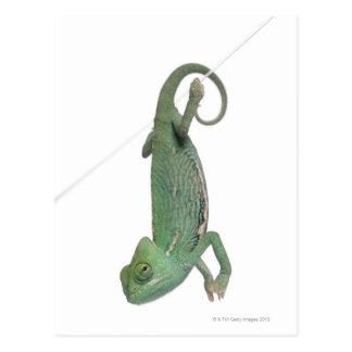 Young veiled chameleon, Chamaeleo calyptratus Postcard