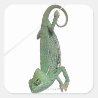Young veiled chameleon, Chamaeleo calyptratus Square Sticker
