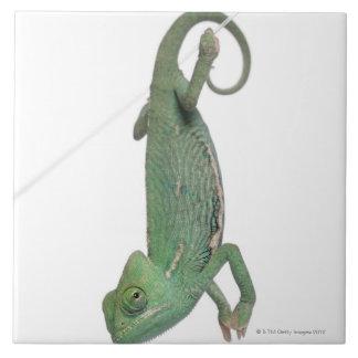 Young veiled chameleon, Chamaeleo calyptratus Large Square Tile