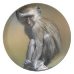 Young Vervet Monkey (Cercopithecus aethiops) in Melamine Plate