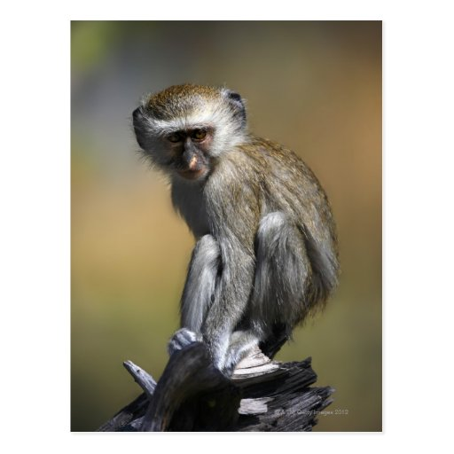 Young Vervet Monkey (Cercopithecus aethiops) in Postcard
