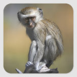 Young Vervet Monkey (Cercopithecus aethiops) in Square Sticker