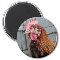 Young Welsummer Rooster Chicken Magnet