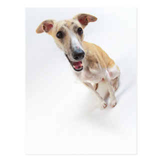 Young whippet postcard