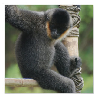 Young White Cheeked Capuchin Monkey Poster