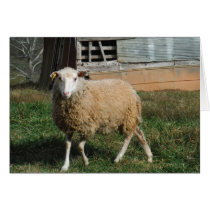 Young White Sheep on the Farm Card
