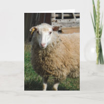 Young White Sheep on the Farm Holiday Card