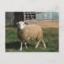 Young White Sheep on the Farm Postcard