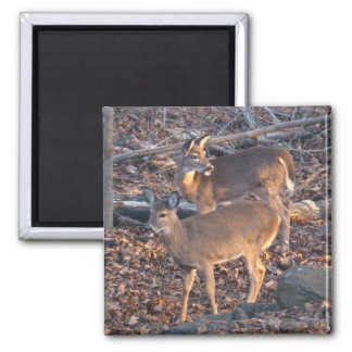 Young Whitetail Deer Series 2 Inch Square Magnet