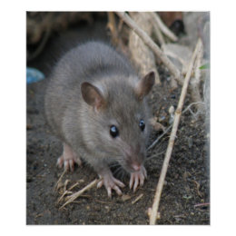 Young Wild Rat Print print